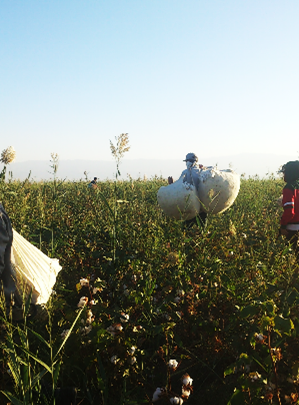 Titel: Almost all of the cotton crop in Uzbekistan is being harvested by hand. (September 2015) - Beschreibung: C:\Users\Maxie\Documents\Arbeit UGF\Harvest Report\Photos\1 - General\DSC_1320.jpg